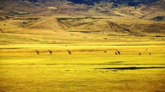 serengeti-giraffes