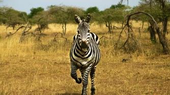 serengeti-zebra