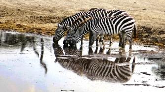 serengeti-zebras-drink