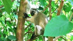 uganda-velvet-monkey